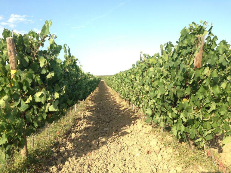 winnice w Oksytanii
